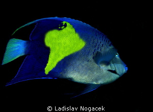 Angel Fish on trip to South Amerika by Ladislav Nogacek 